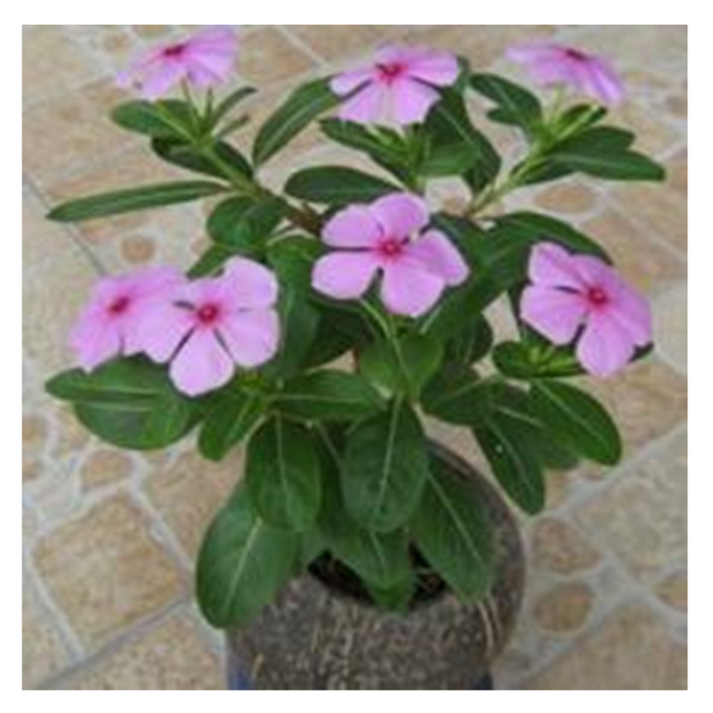 Online Get Cheap Vinca Flowers Seeds -Aliexpress.com | Alibaba Group