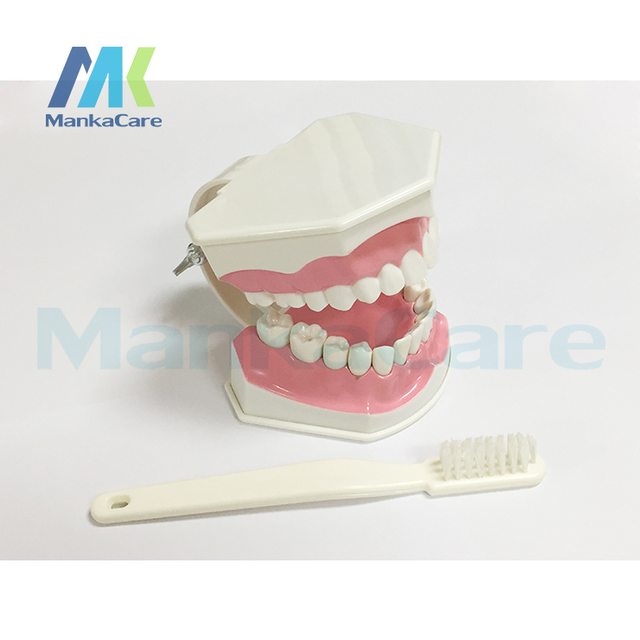 Manka Care - 2 Times Adult Dental Teeth Model and Toothbrush with Removable Lower Teeth Teaching Model free shipping