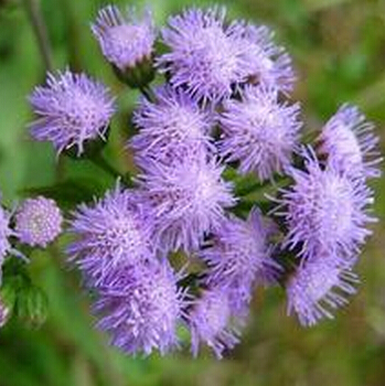 Nos amies les fleurs (Symbolisme) - Page 11 Agastache-Rugosa-Seeds-Patchouli-font-b-Herb-b-font-Blue-font-b-Licorice-b-font-Seeds