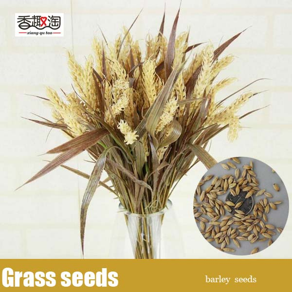 Ornamental grass seeds barleygarden flower seeds organic seeds ornamental grass seeds barleygarden flower seeds organic seeds 100pcsbag workwithnaturefo