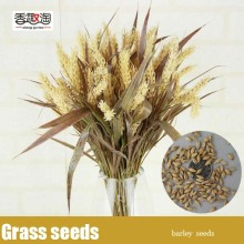 Ornamental Grass Seeds Barley,Garden flower seeds organic 100pcs/bag