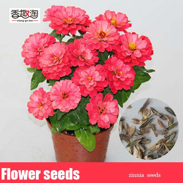 100pcs Classic Zinnia Elegans Flower Seeds, Beautiful garden decorations fireball flower ...