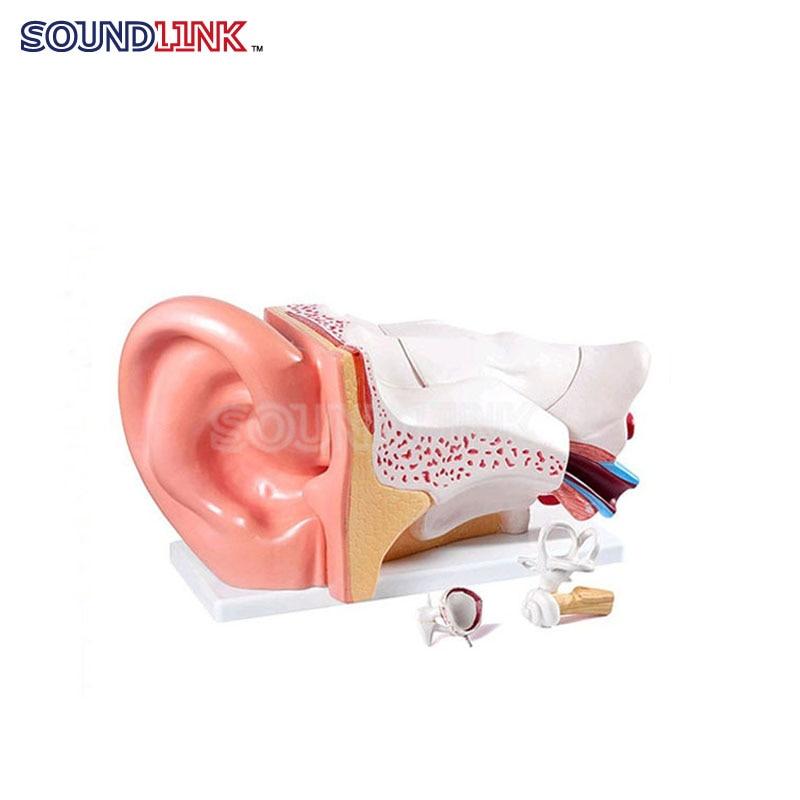 Plastic Human Anatomical Ear Models Ear Anatomic Model Educational Model ear anatomic model  ear amplification model