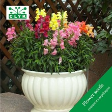 1000Pcs/bag Common Snapdragon seeds, colorful flowers Garden Home Bonsai Planting
