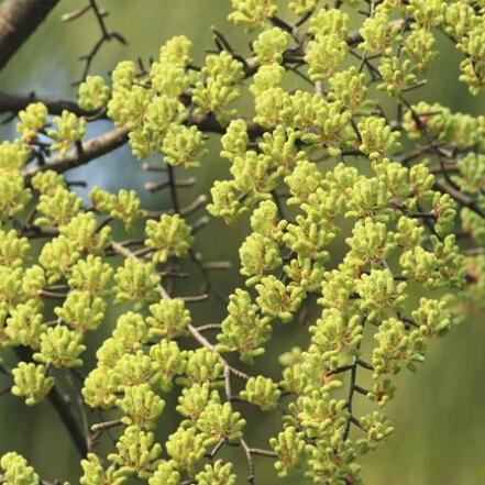 100pcs Deciduous Tree Pseudolarix Amabilis Seeds, Ornamental Plant tree Seeds
