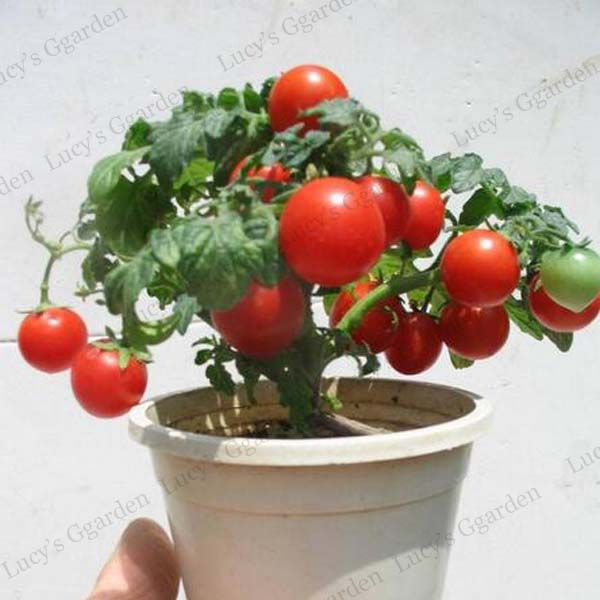 100pcs dwarf tomato seeds garden organic fruit and for How to grow cherry tomatoes from seeds