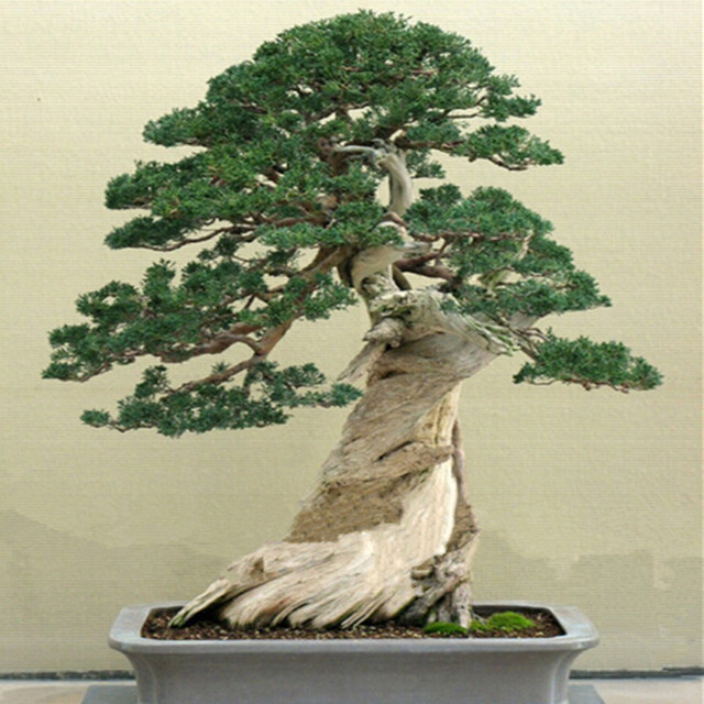 Bonsai Tree Seeds 100 pcs Set