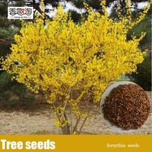 100pcs Beautifying Forsythia tree Seeds, excellent spring flower shrubs Seeds