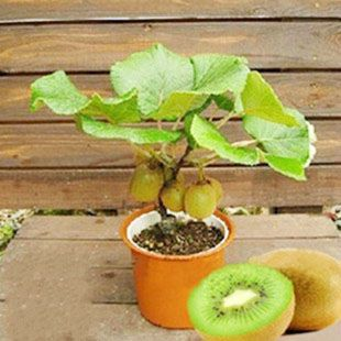 100 seeds/pack Bonsai Hot selling The king of fruits seeds Kiwi fruit seed bonsai home garden