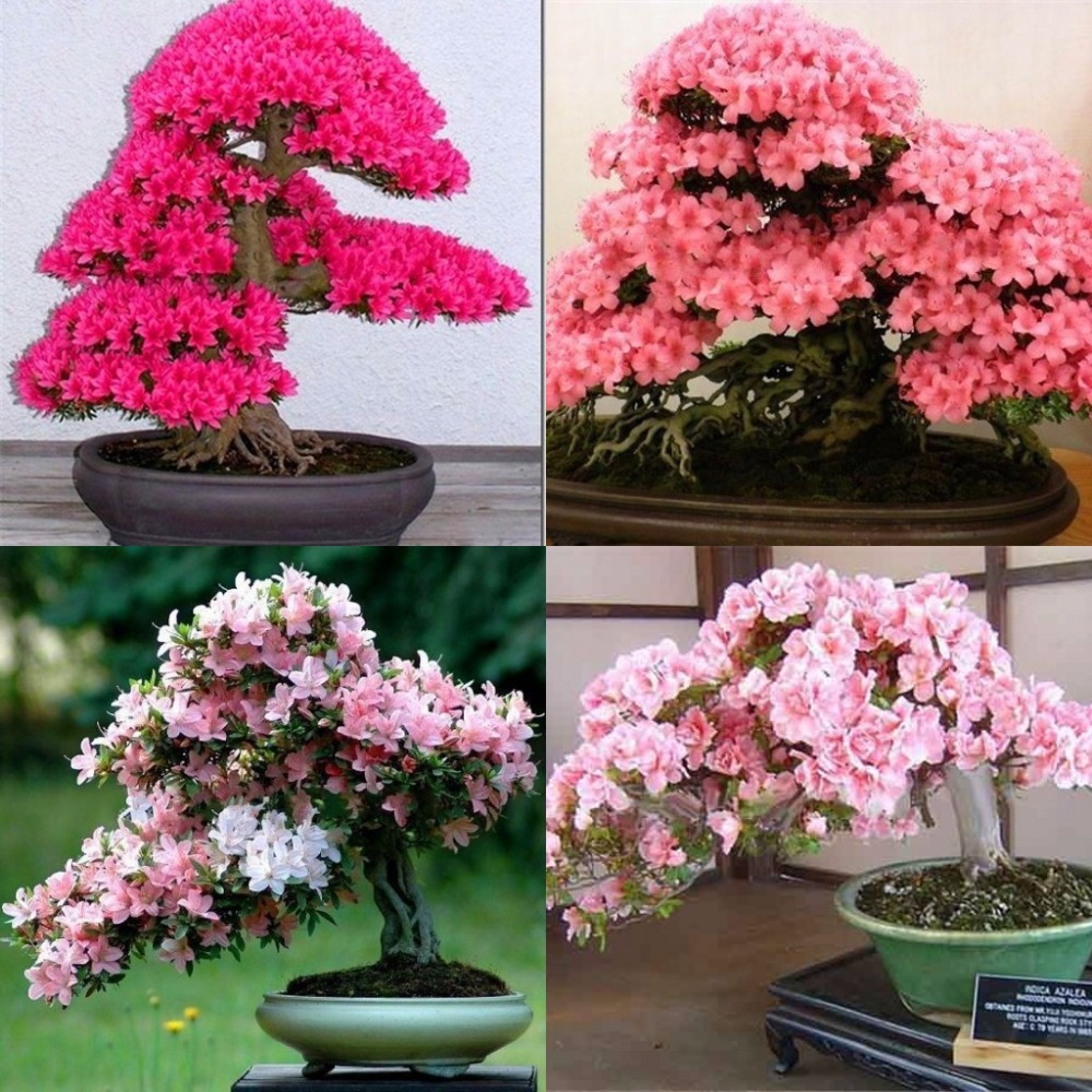 Bonsai Tree japanese sakura seeds 10 seeds/pack ,bonsai flower Cherry Blossoms free shipping