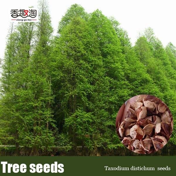 Декоративное растение Taxodium distichum семена, большой лиственное дерево baldcypress Семена 10 шт. ...