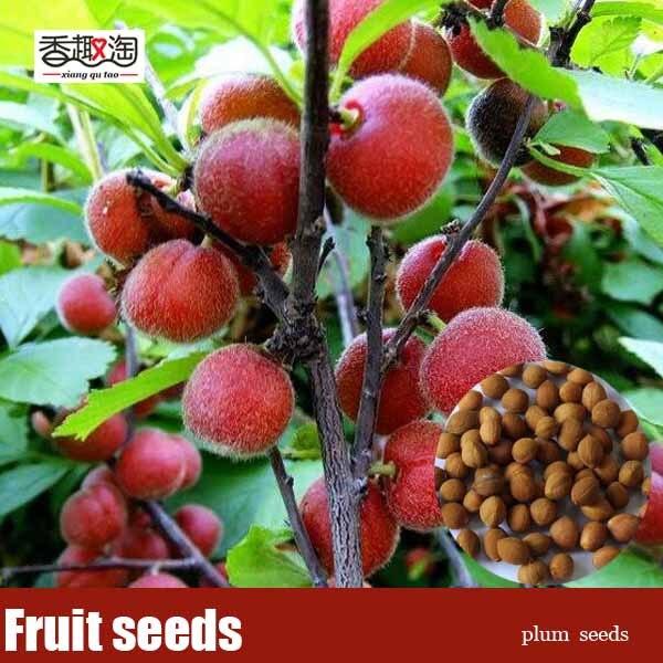 5pcs/bag Chinese plum Seeds, DIY home garden shrubs Fruit tree seed