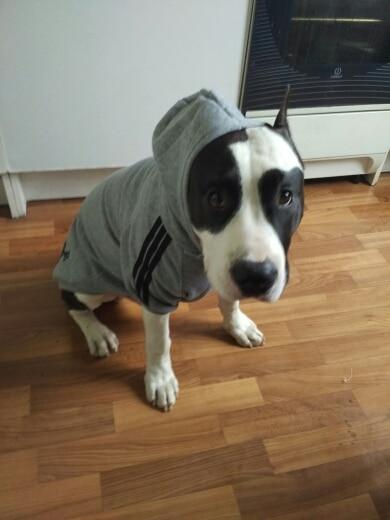 Bigdog Adidog Hoodie Cheap Dog Clothing And Accessories