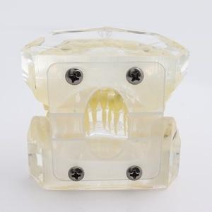 Image 3 - שיניים סטנדרטי אורתודונטי שיניים דגם עם סוגריים & Buccal צינורות & יגטורה חוט אורתודונטי טיפול שקוף