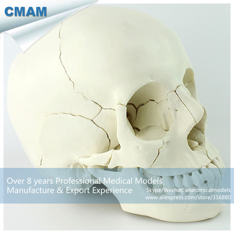 12392-1 CMAM-SKULL12 22parts Adult Humans Skull Model,  Medical Science Educational Teaching Anatomical Models 12338 cmam pelvis01 anatomical human pelvis model with lumbar vertebrae femur medical science educational teaching models