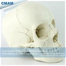12392-1 CMAM-SKULL12 22 rész Felnőtt ember Skull modell, Orvostudomány Oktatási tanítás Anatómiai modellek