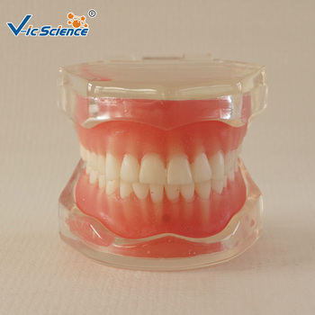 28 PCS Standard Full Mouth Soft Gum Removable Teeth Model