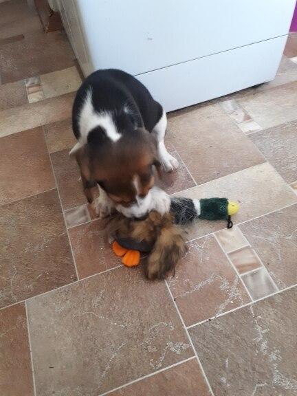 2018 Классические игрушки собаки мягкие Скрип Утка собака игрушка-плюшевый щенок сигналят утки для собак pet chew пищалка squeaky игрушки