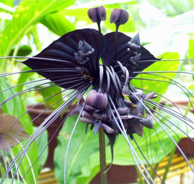 25 Pcs Black Tiger Shall Orchid Flowers Seeds 150 6910013102704