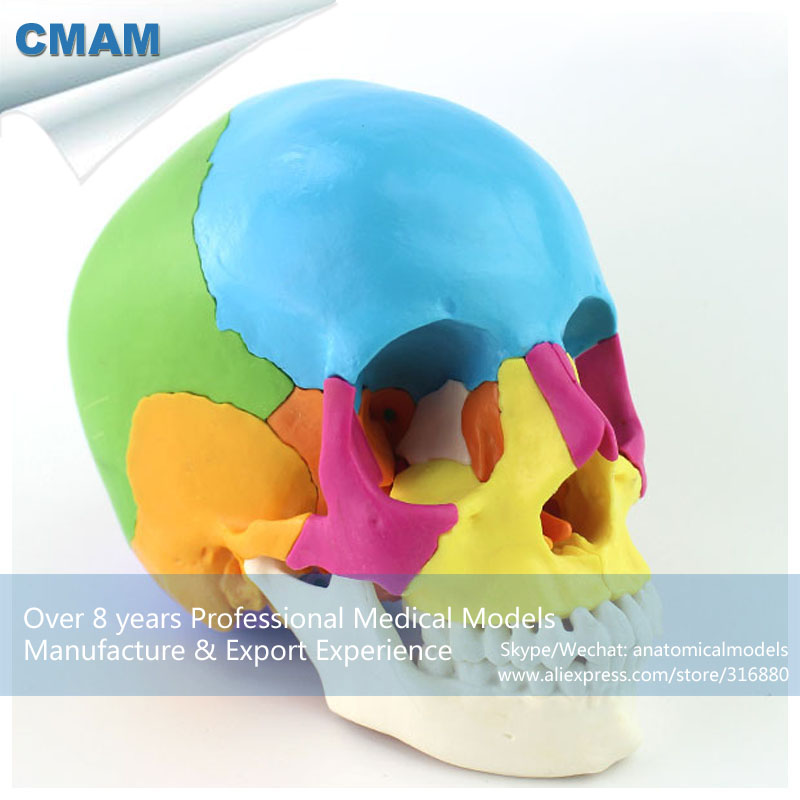 12393-1 CMAM-SKULL13 Didactic Colored 22 part Adult Humans Skull,  Medical Science Educational Teaching Anatomical Models 12338 cmam pelvis01 anatomical human pelvis model with lumbar vertebrae femur medical science educational teaching models