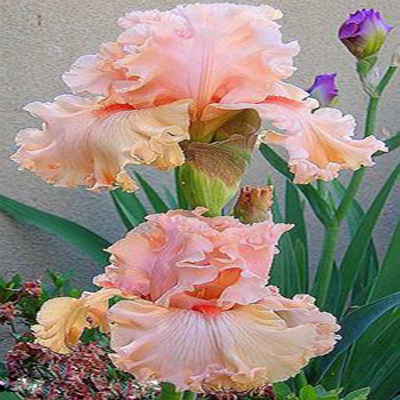 Iris Orchid Flower Seed DIY Home Garden Plant Perennial Seeds Light Pink Brown Color Bonsai Pot Plants Seeds 50PCS
