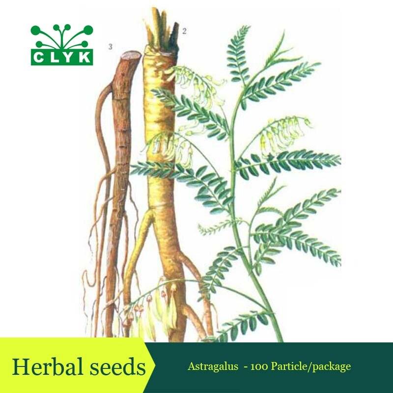 Astragalus membranaceus корневой