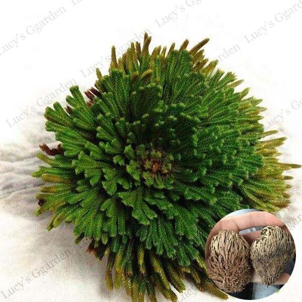 novel plant ornamental grass resurrection plant moss rose of jericho dinosaur 1pcs bag in. Black Bedroom Furniture Sets. Home Design Ideas