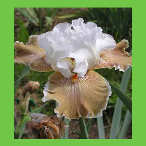 Iris Orchid Flower Seed DIY Home Garden Outdoor Plant Perennial Seeds White Mix Light Brown Color Bonsai Pot Plants Seeds 50PCS