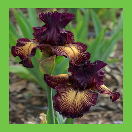 Japanese Iris Orchid Flower Seed DIY Home Garden Plant Perennial Seeds Yellow Brown Color Bonsai Pot Plants Seeds 50PCS