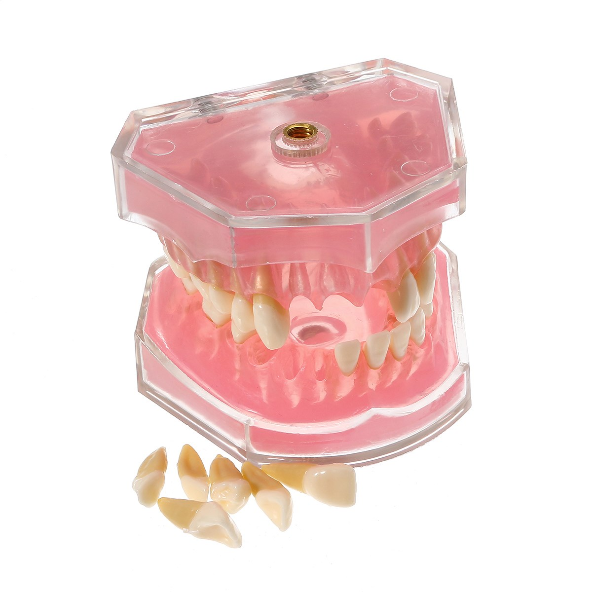 Dental Standard Model With Removable Teeth Soft Gum For Oral Care Medical Science Dental Research Stydy Teaching 2017 NEW teeth model dental periodontal disease practice dental model with removable gum can