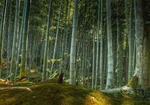 Giant Moso Bamboo phylostachys edulis 10 świeżych nasion numer śledzenia