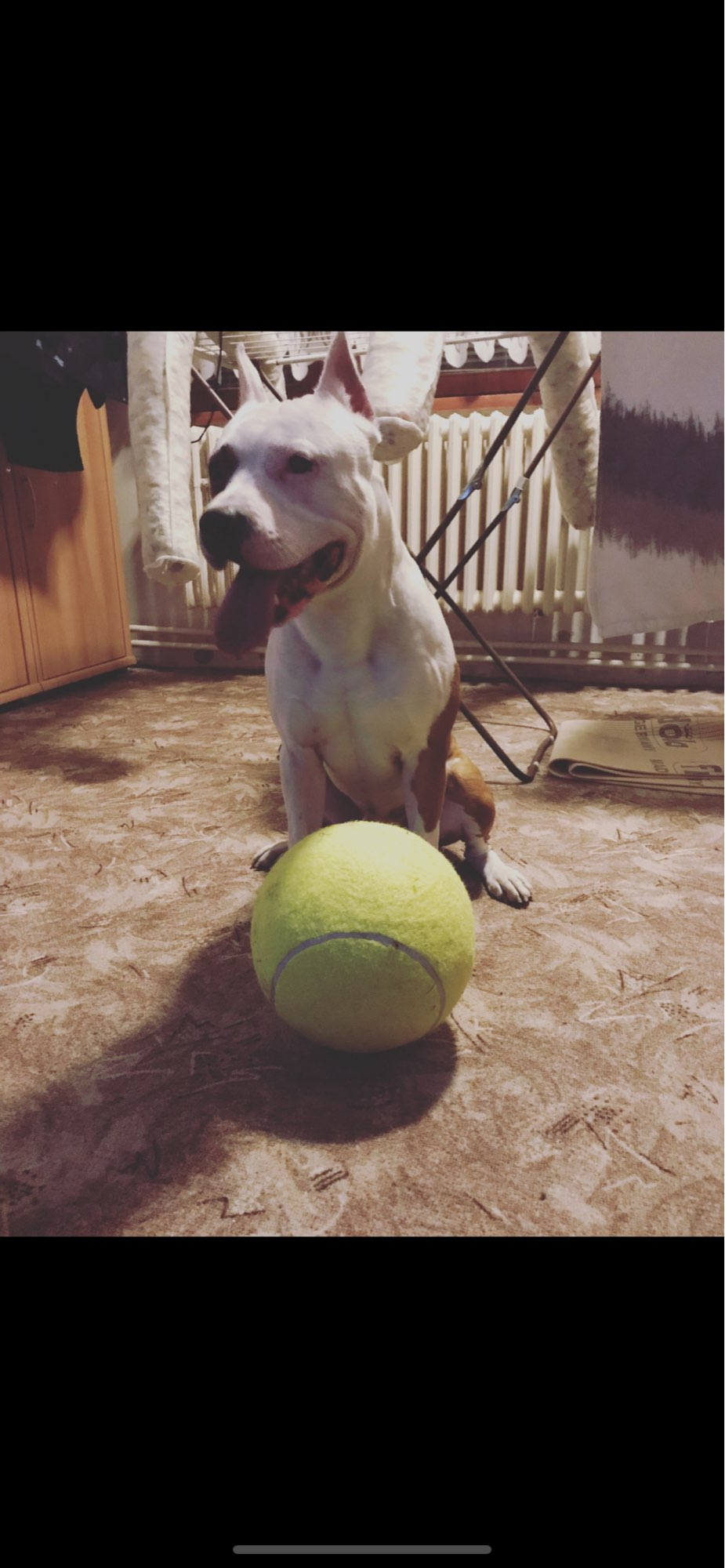Giant Tennis Ball For Dogs photo review