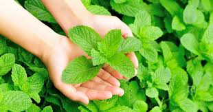 50 Pieces Organic Mint Free Shipping