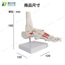 Modelo humano da sensação do músculo pintado para o ensino médico e a arte mostrando o modelo do esqueleto do pé da anatomia humana do tamanho da vida