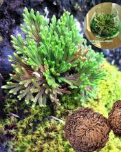 Салагинелла мох Спайк Иерихон растение воскресение 1 шт