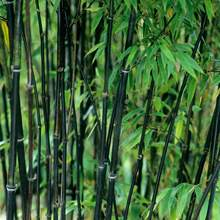 Preto bambu phyllostachys nigra 5 + número de rastreamento de sementes frescas
