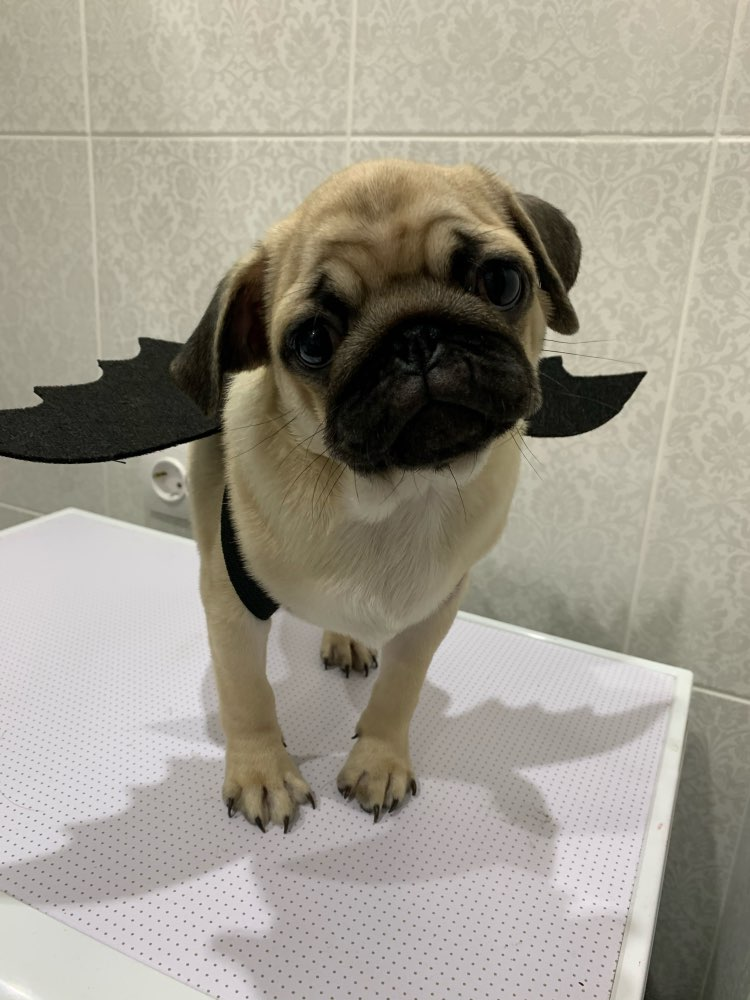 Bat Wings Pet Costume | Dog Halloween Costumes | Funny Dog Costumes photo review