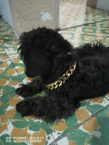 Gold Necklace For Dog